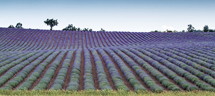 Lavander, Provence and French Riviera